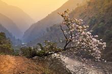 Blossoming Magnolia Over Break Near Narrow Mountain Track In Him
