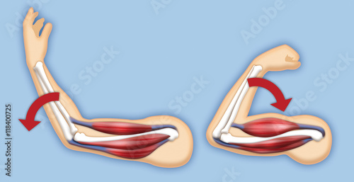 Fotografie, Obraz  Upper arm muscles