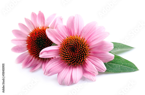 Poster Fleuriste Echinacea flowers close up