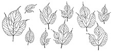 Stylized Mulberry Leaves Outline Drawing Vector Art Illustration