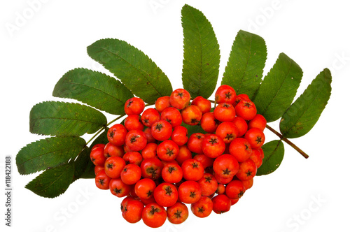 Fotografie, Obraz  Bunch of red rowan isolated on white background