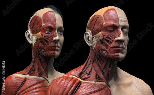 Human Anatomy Background Male And Female Muscle Anatomy Of The