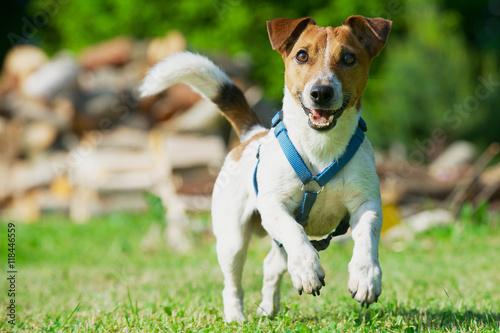 Foto  Jack Russel Terrier in a blue harness runs on a grass.