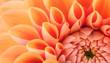 Leinwandbild Motiv Orange flower petals, close up and macro of chrysanthemum, beautiful abstract background