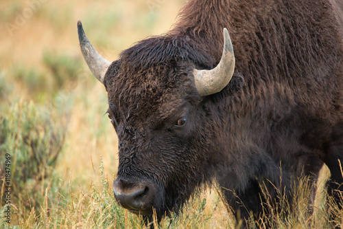 Foto op Canvas Bison bison in grasslands of Yellowstone National Park in Wyoming