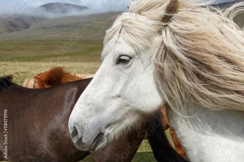 Fototapety, obrazy: Icelandic horse or horses outdoor