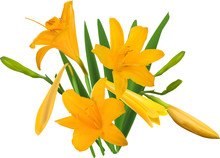 Gold Yellow Lily Bunch Isolated On White