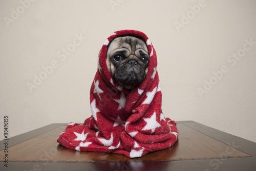 Poster Dog Zittende mopshond in rood dekentje gewikkeld