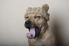 Gapende Hond Met Gebreide Muts