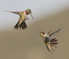 Feisty Fellows - A Broadtail And A Rufous Hummingbird Fight Over Who Owns The Bird Feeder.