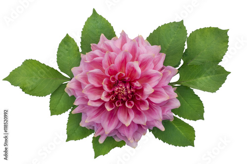 Isolated pink dahlia flower with leaves