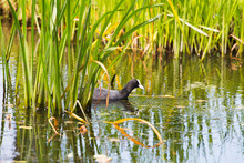 Coot Swimming Between Reed In ...