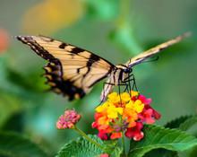 Eastern Tiger Swallowtail On A Lantana Bloom
