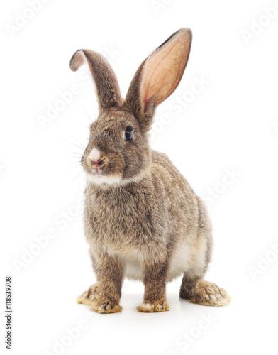 Fotografie, Obraz  One red rabbit.