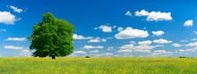 Mighty Oak Tree On Wild Flower Meadow In Summer Landscape Under Blue Sky With Clouds