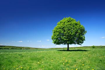 Linden Tree on Meadow with Dandelion Flowers in Spring Landscape under Blue Sky