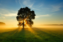 Oak Tree In Meadow At Sunrise, Sunbeams Breaking Through Morning Fog