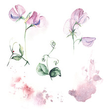 Set Of Sweet Pea With Watercolor Splash. Floral Hand-painted Collection For Greeting Card