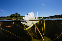 Lily Pad Flower In Freshwater ...