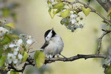 A Carolina Chickadee Sits On A Branch On A Bright Sunny Day On A Branch Of Spring White Flowers And Bright Green Leaves.