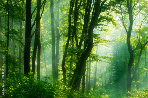 Papiers peints Forets Green Forest of Deciduous Trees Illuminated by Sunbeams through Fog