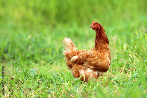 Papiers peints Poules Image of red hen in green grass field.