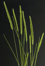 Wiesen-Kammgras, Kammgras, Cynosurus, Cristatus