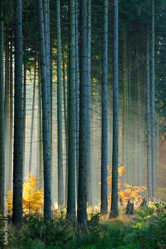 jesien-las-drzew-swierkowych-oswietlony-przez-promienie-sloneczne