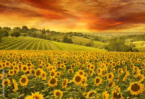 Photo Stands Melon sunflowers field in the italian hill at sunset