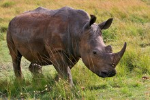 Rhino Very Close From Photographer In The Beautiful Nature Habitat, This Is Africa, African Wildlife, Endangered Species