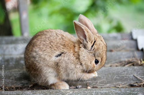 Plakat Mały śliczny królika cleaning stawia czoło, puszysty brown królik na popielatym kamiennym tle. nieostrość, płytkie pole głębi