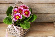 Pink Primula Flowers In A Wicker Basket