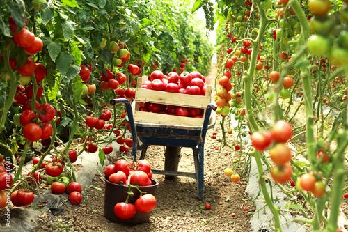 Foto harvest ripe tomatoes