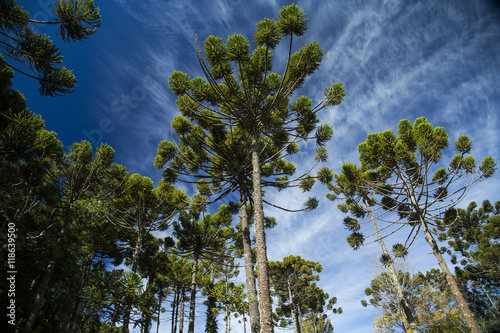 Photo Closeup of upper part of Araucaria angustifolia ( Brazilian pine