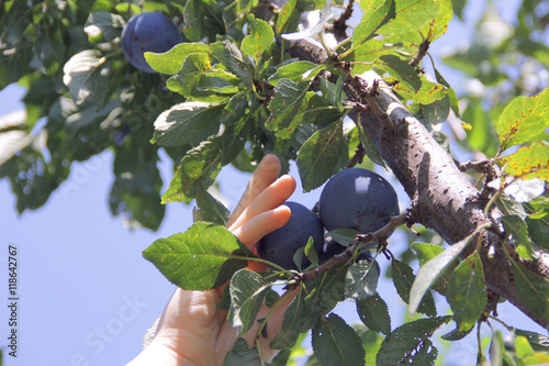 Ripe plums on the tree, picking plums in an orchard