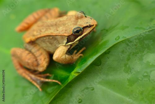 Tuinposter Kikker brown wood frog in a pond