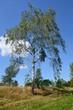 Birke im Spätsommer