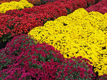 Yellow, Red And Purple Chrysanthemums