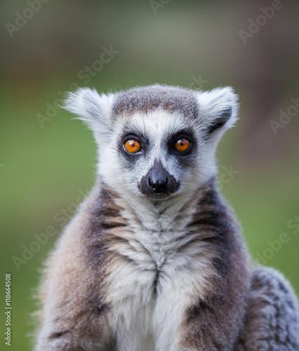 black and white lemur Canvas Print