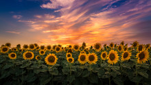 Sunflower Field During Sunset,...