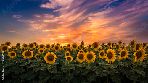 La pose en embrasure Tournesol Sunflower field during sunset, Slovakia