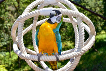 Macaw Parrot Playing In An Aviary