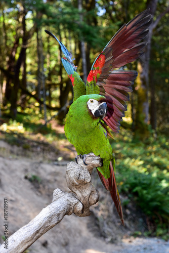 Severe Macaw Parrot. Mini Macaw Canvas Print