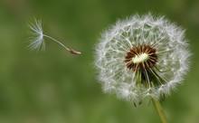 Dandelion Condolence Or Sympat...
