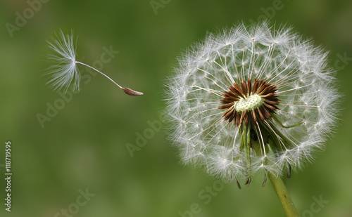 Dandelion condolence or sympathy card design with seeds