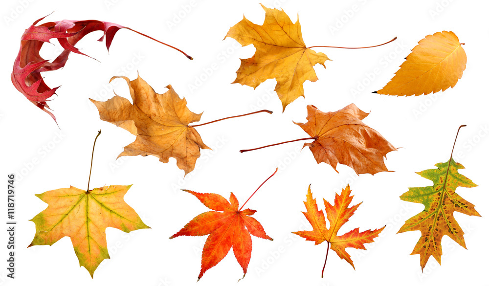 Fototapety, obrazy: Fall and autumn leaves isolated on a white background collection