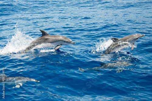 Photo sur Toile Dauphin Atlantic spotted dolphins
