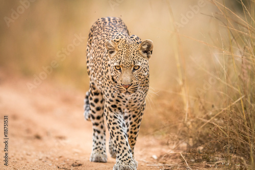 Tuinposter Luipaard A Leopard walking towards the camera in the Kruger.