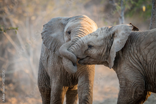 Elephants playing in the Kruger. Wallpaper Mural