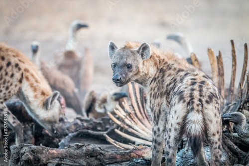 Spotted hyena on a carcass with Vultures.